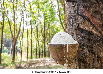 Rubber tree with clay bowl. Raw rubber on the rubber tree.
