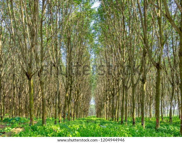 Rubber Tree Forest Row Rubber Trees Stock Photo (Edit Now