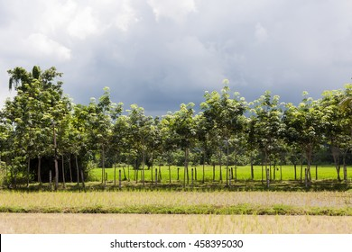 Rubber tree (Hevea Brasiliensis) in green rice field