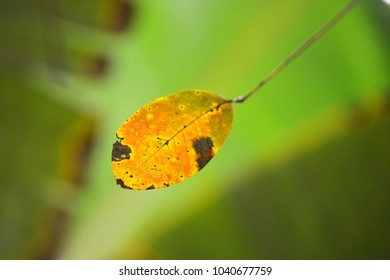 Rubber tree leaf in yellow color with natural soft background for copyspace. (Selective focusing)