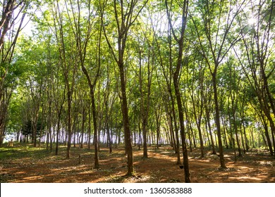 rubber tree , rubber plantation . Beautiful trees line by rubber tree .