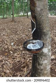 a rubber tree plantation in Cambodia