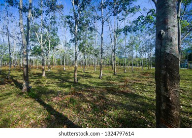 Rubber tree plantation spring , The leaves are falling.