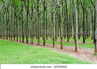 rubber tree plantation in Vietnam