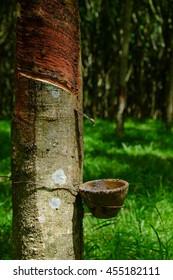 Rubber tree producing latex on plantation