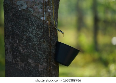 Rubber tree is slit. And a cup of rubber latex.