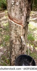 Rubber tree in Thailand. Harvest season