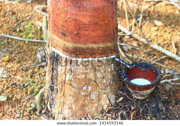 Rubber Tree That Gardeners Use Peel Stock Photo Edit Now 1414593146