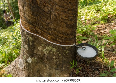 Rubber Tree Latex Images, Stock Photos & Vectors | Shutterstock