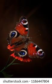 The rubine butterfly
