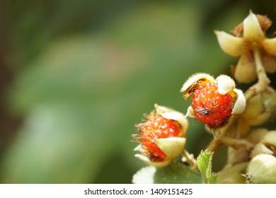 Rubus alceifolius flower, thorn weed