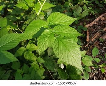 Rubus Caesius L. Blue Bramble Leaf