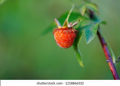 Rubus chingii, a kind of raspberry, and a kind of traditional Chinese medicine