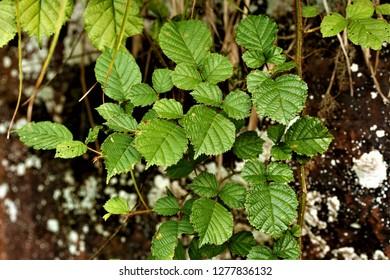 Rubus ellipticus, the golden Himalayan raspberry, or the yellow Himalayan raspberry, found in Sichuan, China.