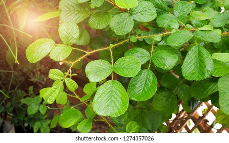 Rubus ellipticus, Rosaceae. Green plants are medicinal herbs. Cure hemorrhoids And mouth canker disease.