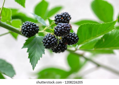 Rubus fruticosus big and tasty garden blackberries, black ripened fruits berries on branches, green foliage