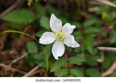 Rubus hirsutus flower, a Rosaceae plant. Macro shot.