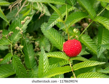Rubus illecebrosus. Closeup of red balloon berry or strawberry raspberry. Red-fruited species of Rubus berries growing on spiky bushes. This type of hybrid berries originally came from Japan.
