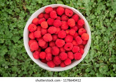 Rubus illecebrosus. Closeup of red balloon berry or strawberry raspberry is a red-fruited species of Rubus berries growing on spiky bushes. This type of hybrid berries originally came from Japan.