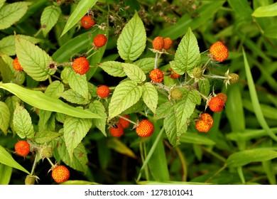 Rubus macilentus, a kind of wild raspberry, found in Sichuan, China.