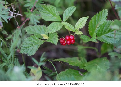 Rubus saxatilis or Stone bramble. Fruiting plant with ripe red berries in wild.