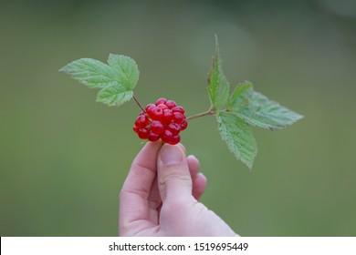 Rubus saxatilis or Stone bramble in hand.