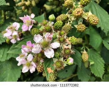 Rubus sectio Rubus