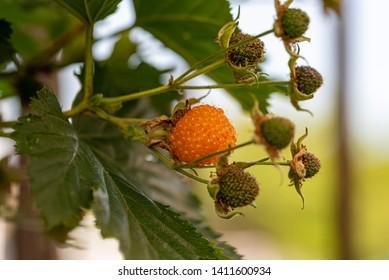 Rubus trifidus fruit, yellow raspberry on the branch