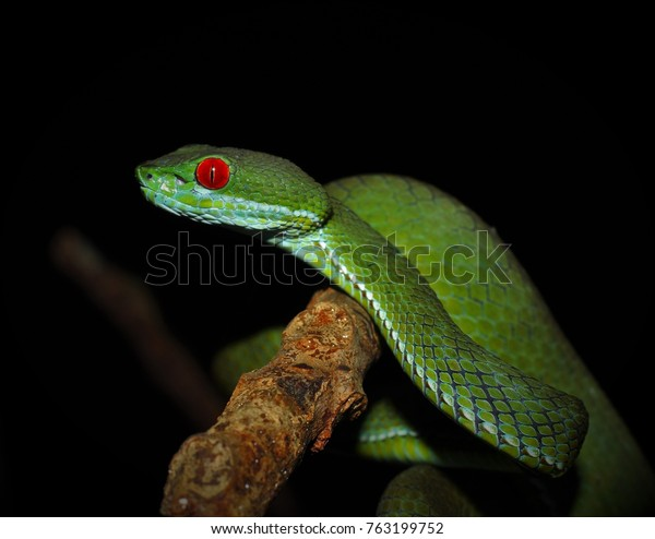 Ruby Eyed Pit Viper On Herping Animals Wildlife Stock Image 763199752