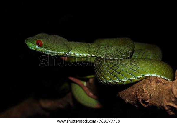 Ruby Eyed Pit Viper Trimeresurus Rubeus Stock Photo Edit Now 763199758