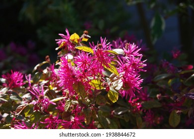 A Ruby Loropetalum Chinese Fringe flower bush with green and burgundy foliage with beautiful luscious pink blooms in bright sunlight