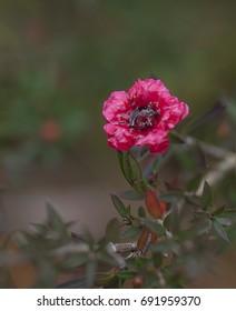 Ruby red flower of Leptospermum Burgundy Queen on dark background suit condolences card