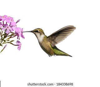 Ruby throated hummingbird (archilochus colubris) in motion, drinking from phlox flowers, isolated on white.