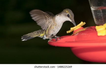 ruby throated hummingbird at feeder