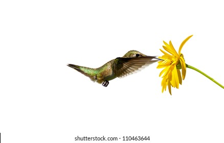 Ruby throated hummingbird female approaching a yellow flower, isolated on white.