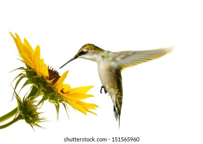 Ruby throated hummingbird, female, hovering at a sunflower, isolated on white.