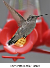 Ruby Throated Hummingbird (Young)