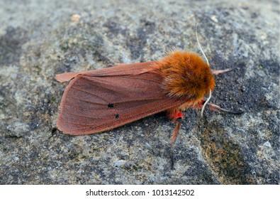 Ruby Tiger moth ( Phragmatobia fuliginosa ) in the family Erebidae. Sitting on a rock.