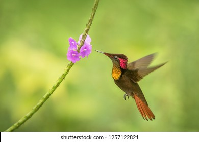 Ruby topaz (Chrysolampis mosquitus) hovering next to violet flower, bird in flight, caribean Trinidad and Tobago, natural habitat, hummingbird with red head and yellow throat sucking nectar