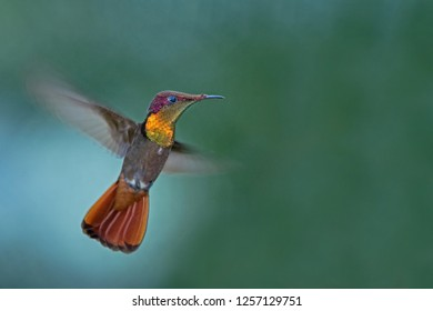 Ruby topaz (Chrysolampis mosquitus), hovering in the air, garden, caribean tropical forest, Trinidad and Tobago, bird on colorful clear background,beautiful hummingbird with yellow throat and red tail
