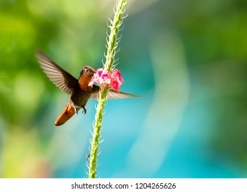Ruby Topaz feeding on a single pink Vervain flower.