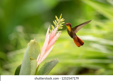 Ruby topaz hovering next to pink and yellow flower, bird in flight, caribean tropical forest, Trinidad and Tobago, natural habitat, beautiful hummingbird sucking nectar, colouful background