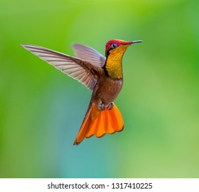Ruby Topaz Hummingbird dancing in the air, Trinidad. Chrysolampis mosquitus.