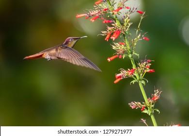 Ruby Topaz hummingbird feeding on the Antigua heat plant