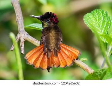 A Ruby Topaz Hummingbird flaring his tail.