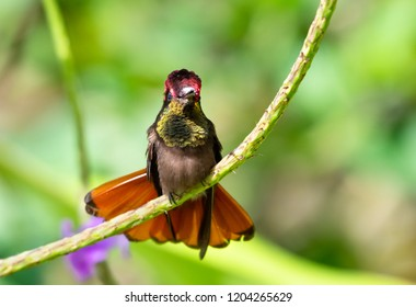 Ruby Topaz Hummingbird perched in a Vervain plant with his tail flared.