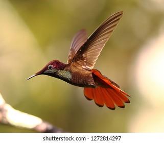 Ruby Topaz Hummingbird Trinidad