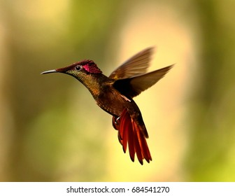Ruby Topaz ,Hummingbird Trinidad West Indies