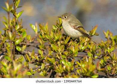Ruby-crowned Kinglet peched in a shrubby tree. Ashbridges Bay Park, Toronto, Ontario, Canada.