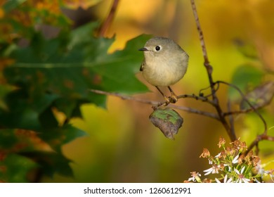 Ruby-crowned Kinglet perched on a branch in autumn. Rouge National Urban Park, Toronto, Ontario, Canada.